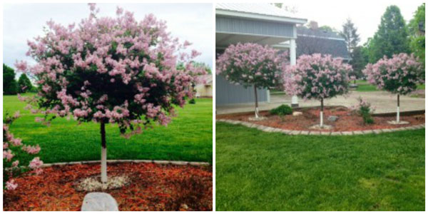These I call lollipop trees. They are actually lilac trees! They smell fantastic.