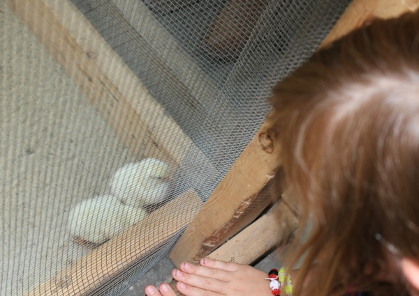 Iowa-State-Fair-Animal-Learning-Center-Chicks