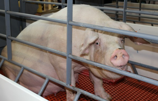 Iowa-State-Fair-Animal-Learning-Center-Sow