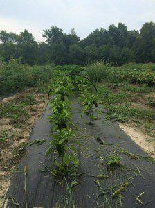 Planter_rows2
