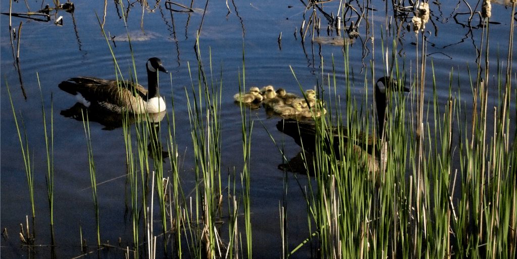 Geese and goslings at Reiman Gardens, Ames, Iowa. Photo by Jody Halsted
