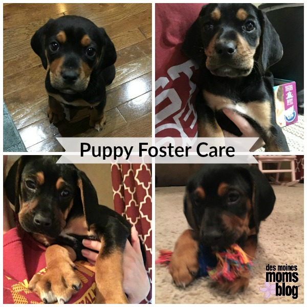 puppy foster care | Des Moines Moms Blog