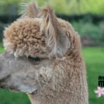 As a Mama, I'm No Llama